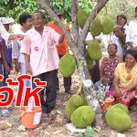 ต้นขนุนออกลูกโคนต้นถึง 11 ลูก ชาวบ้านแห่ขอหวย