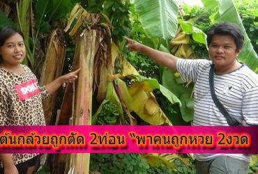 กล้วยถูกตัด2ท่อน -พาถูกหวย 2 งวด